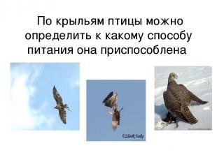 По крыльям птицы можно определить к какому способу питания она приспособлена