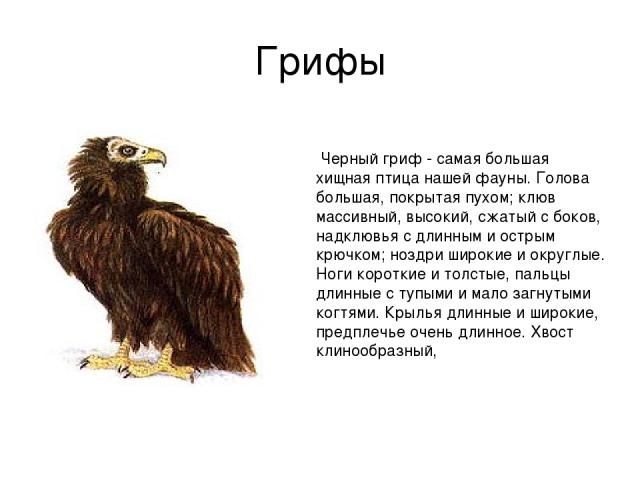 Грифы Черный гриф - самая большая хищная птица нашей фауны. Голова большая, покрытая пухом; клюв массивный, высокий, сжатый с боков, надклювья с длинным и острым крючком; ноздри широкие и округлые. Ноги короткие и толстые, пальцы длинные с тупыми и …