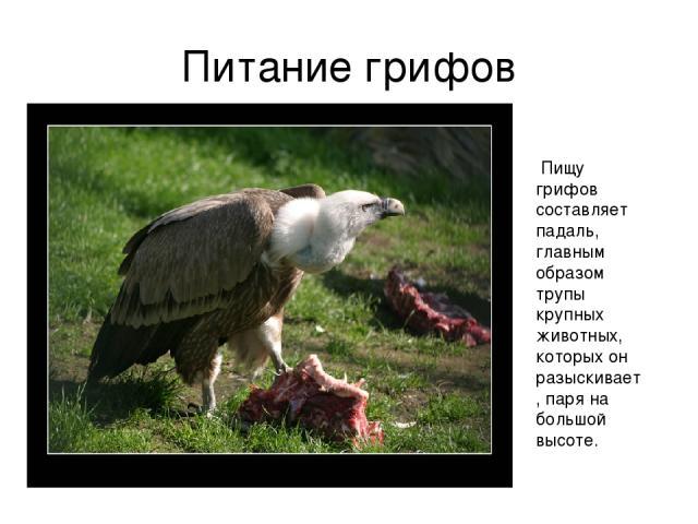 Питание грифов Пищу грифов составляет падаль, главным образом трупы крупных животных, которых он разыскивает, паря на большой высоте.