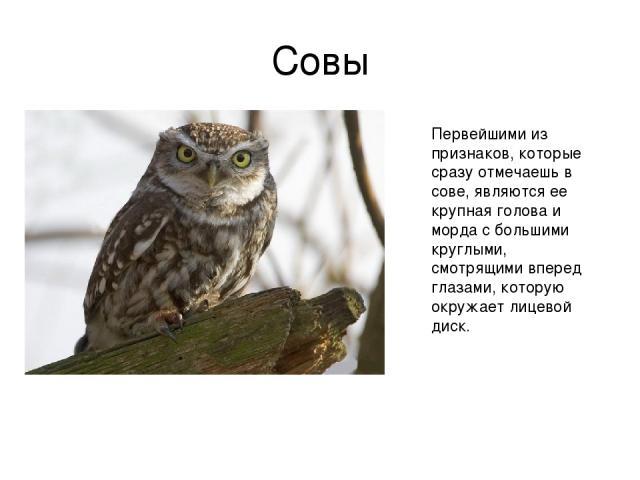 Совы Первейшими из признаков, которые сразу отмечаешь в сове, являются ее крупная голова и морда с большими круглыми, смотрящими вперед глазами, которую окружает лицевой диск.