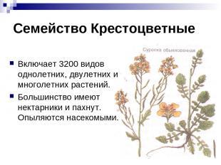 Семейство Крестоцветные Включает 3200 видов однолетних, двулетних и многолетних