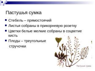 Пастушья сумка Стебель – прямостоячий Листья собраны в прикорневую розетку Цветк
