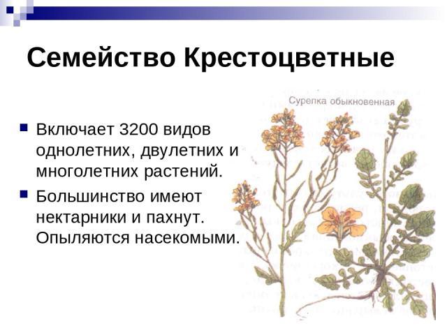 Семейство Крестоцветные Включает 3200 видов однолетних, двулетних и многолетних растений. Большинство имеют нектарники и пахнут. Опыляются насекомыми.