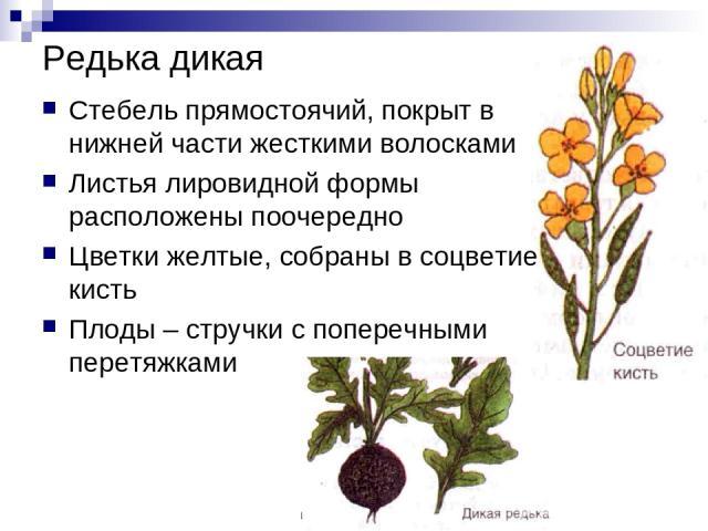 Редька дикая Стебель прямостоячий, покрыт в нижней части жесткими волосками Листья лировидной формы расположены поочередно Цветки желтые, собраны в соцветие кисть Плоды – стручки с поперечными перетяжками