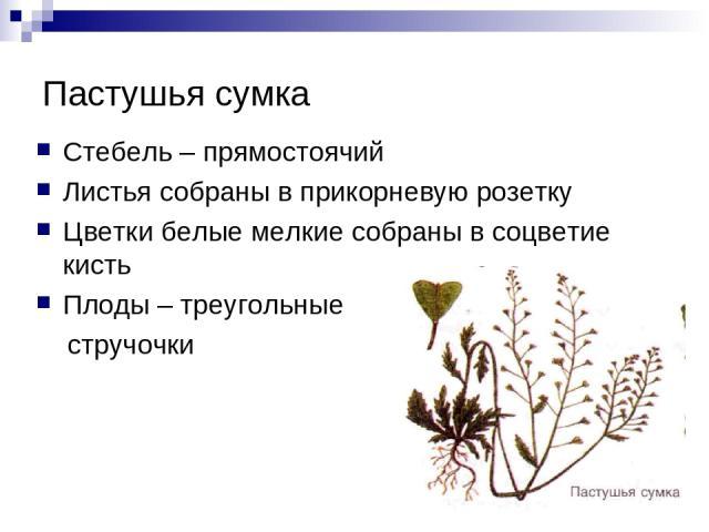 Пастушья сумка Стебель – прямостоячий Листья собраны в прикорневую розетку Цветки белые мелкие собраны в соцветие кисть Плоды – треугольные стручочки
