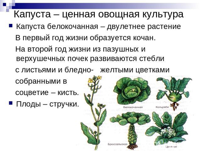 Капуста – ценная овощная культура Капуста белокочанная – двулетнее растение В первый год жизни образуется кочан. На второй год жизни из пазушных и верхушечных почек развиваются стебли с листьями и бледно- желтыми цветками собранными в соцветие – кис…