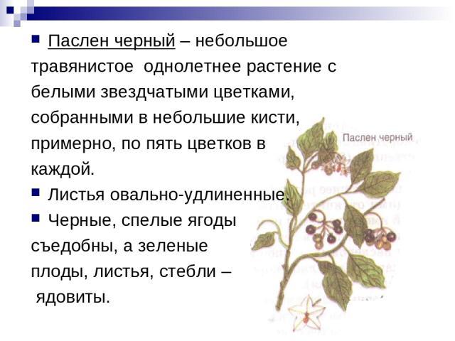 Паслен черный – небольшое травянистое однолетнее растение с белыми звездчатыми цветками, собранными в небольшие кисти, примерно, по пять цветков в каждой. Листья овально-удлиненные. Черные, спелые ягоды съедобны, а зеленые плоды, листья, стебли – ядовиты.
