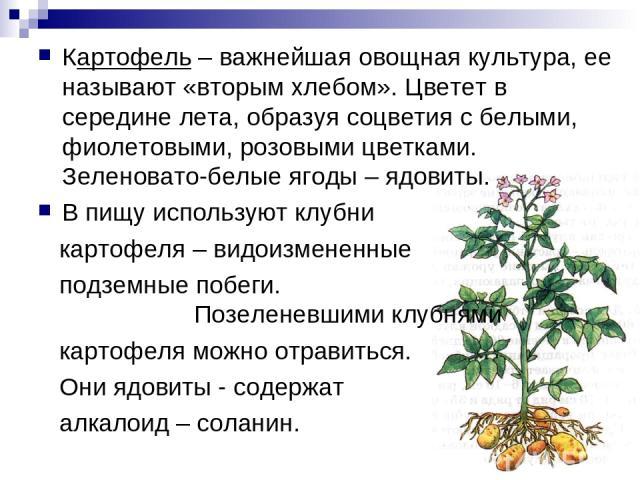 Картофель – важнейшая овощная культура, ее называют «вторым хлебом». Цветет в середине лета, образуя соцветия с белыми, фиолетовыми, розовыми цветками. Зеленовато-белые ягоды – ядовиты. В пищу используют клубни картофеля – видоизмененные подземные п…
