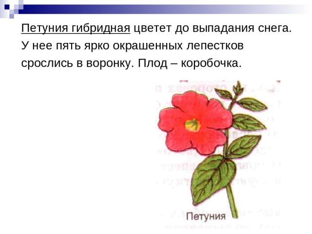 Петуния гибридная цветет до выпадания снега. У нее пять ярко окрашенных лепестков срослись в воронку. Плод – коробочка.