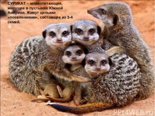 СУРИКАТ – млекопитающее, живущее в пустынях Южной Америки. Живут целыми «поселен