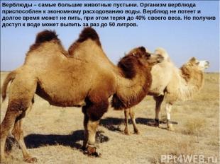 Верблюды – самые большие животные пустыни. Организм верблюда приспособлен к экон