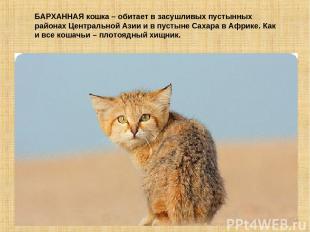 БАРХАННАЯ кошка – обитает в засушливых пустынных районах Центральной Азии и в пу