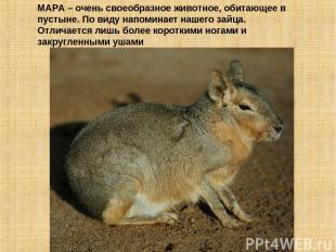 МАРА – очень своеобразное животное, обитающее в пустыне. По виду напоминает наше