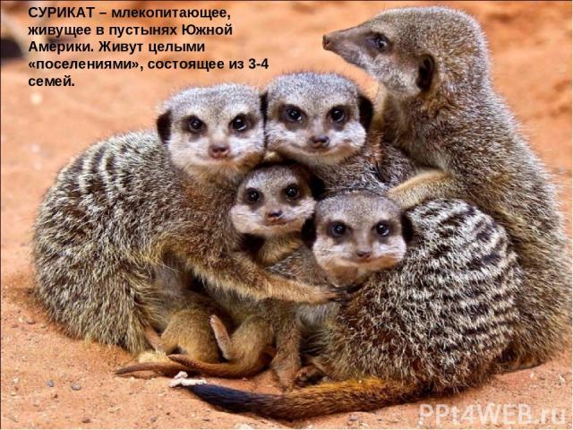СУРИКАТ – млекопитающее, живущее в пустынях Южной Америки. Живут целыми «поселениями», состоящее из 3-4 семей.