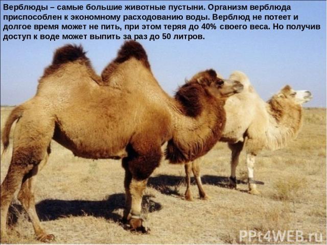 Верблюды – самые большие животные пустыни. Организм верблюда приспособлен к экономному расходованию воды. Верблюд не потеет и долгое время может не пить, при этом теряя до 40% своего веса. Но получив доступ к воде может выпить за раз до 50 литров.