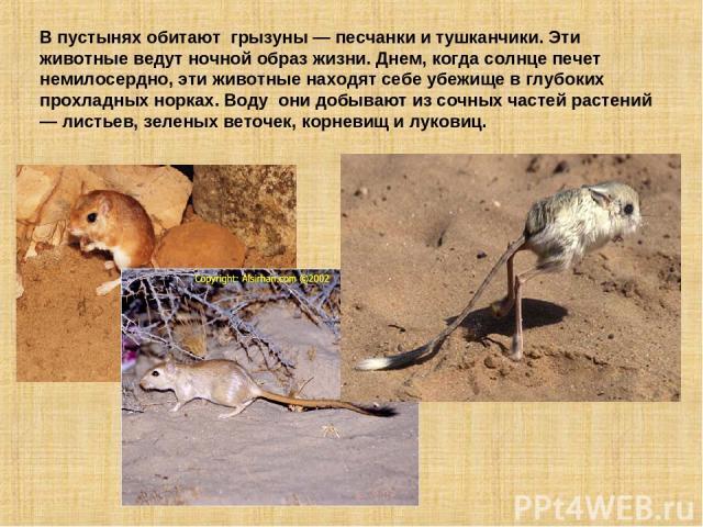 В пустынях обитают грызуны — песчанки и тушканчики. Эти животные ведут ночной образ жизни. Днем, когда солнце печет немилосердно, эти животные находят себе убежище в глубоких прохладных норках. Воду они добывают из сочных частей растений — листьев, …