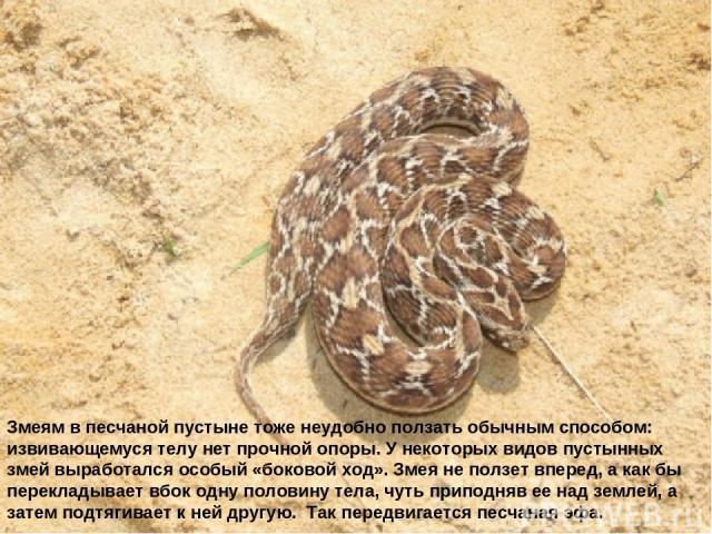 Змеям в песчаной пустыне тоже неудобно ползать обычным способом: извивающемуся телу нет прочной опоры. У некоторых видов пустынных змей выработался особый «боковой ход». Змея не ползет вперед, а как бы перекладывает вбок одну половину тела, чуть при…