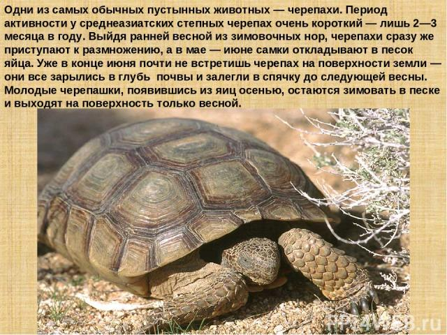 Одни из самых обычных пустынных животных — черепахи. Период активности у среднеазиатских степных черепах очень короткий — лишь 2—3 месяца в году. Выйдя ранней весной из зимовочных нор, черепахи сразу же приступают к размножению, а в мае — июне самки…