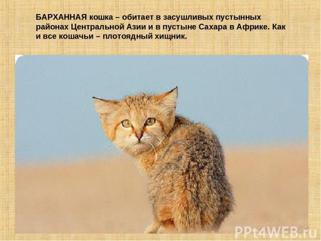 БАРХАННАЯ кошка – обитает в засушливых пустынных районах Центральной Азии и в пустыне Сахара в Африке. Как и все кошачьи – плотоядный хищник.