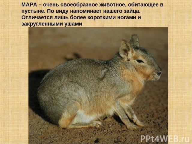 МАРА – очень своеобразное животное, обитающее в пустыне. По виду напоминает нашего зайца. Отличается лишь более короткими ногами и закругленными ушами