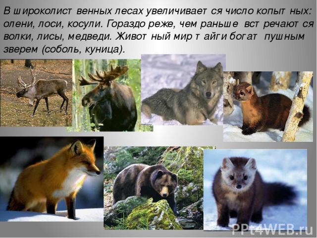 В широколиственных лесах увеличивается число копытных: олени, лоси, косули. Гораздо реже, чем раньше встречаются волки, лисы, медведи. Животный мир тайги богат пушным зверем (соболь, куница).