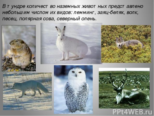 В тундре количество наземных животных представлено небольшим числом их видов: лемминг, заяц-беляк, волк, песец, полярная сова, северный олень.