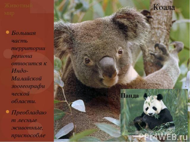Большая часть территории региона относится к Индо-Малайской зоогеографической области. Преобладают лесные животные, приспособленные к жизни на деревьях. Животный мир Коала Панда