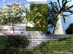 В более сухих местах распространены листопадные леса: здесь деревья ежегодно сбр