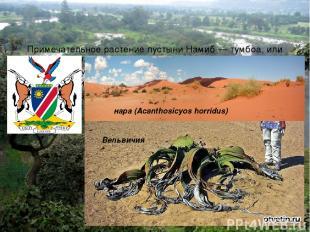 Примечательное растение пустыни Намиб — тумбоа, или Вельвичия (Welwitschia mirab