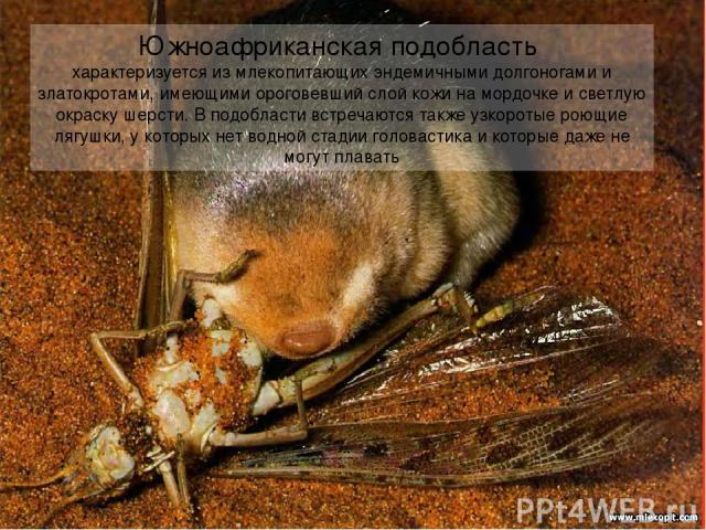 Южноафриканская подобласть характеризуется из млекопитающих эндемичными долгоногами и златокротами, имеющими ороговевший слой кожи на мордочке и светлую окраску шерсти. В подобласти встречаются также узкоротые роющие лягушки, у которых нет водной ст…