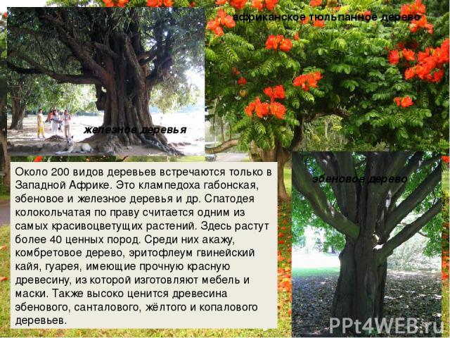 Около 200 видов деревьев встречаются только в Западной Африке. Это клампедоха габонская, эбеновое и железное деревья и др. Спатодея колокольчатая по праву считается одним из самых красивоцветущих растений. Здесь растут более 40 ценных пород. Среди н…