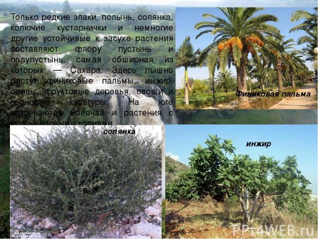 Только редкие злаки, полынь, солянка, колючие кустарнички и немногие другие устойчивые к засухе растения составляют флору пустынь и полупустынь, самая обширная из которых — Сахара. Здесь пышно растут финиковые пальмы, инжир, оливы, фруктовые деревья…