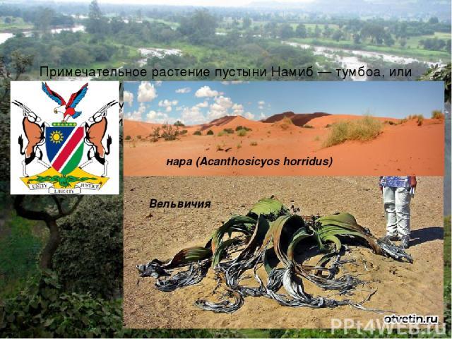 Примечательное растение пустыни Намиб — тумбоа, или Вельвичия (Welwitschia mirabilis). Вельвичия — эндемик для северного Намиба — изображена на государственном гербе Намибии. Известное растение Намиба — нара (Acanthosicyos horridus), (эндемик), кот…