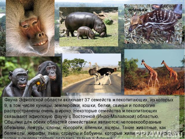 Фауна Эфиопской области включает 37 семейств млекопитающих, из которых 9, в том числе куницы, землеройки, кошки, белки, свиньи и полорогие распространены очень широко. Некоторые семейства млекопитающих связывают эфиопскую фауну с Восточной (Индо-Мал…