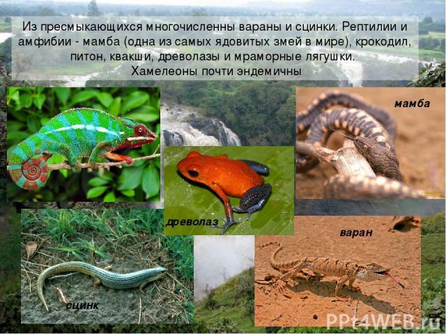Из пресмыкающихся многочисленны вараны и сцинки. Рептилии и амфибии - мамба (одна из самых ядовитых змей в мире), крокодил, питон, квакши, древолазы и мраморные лягушки. Хамелеоны почти эндемичны варан сцинк мамба древолаз