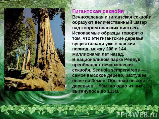 Гигантская секвойя Вечнозеленая и гигантская секвойи образуют величественный шатер над ковром опавших листьев. Ископаемые образцы говорят о том, что эти гигантские деревья существовали уже в юрский период, между 208 и 144 миллионами лет назад, В нац…
