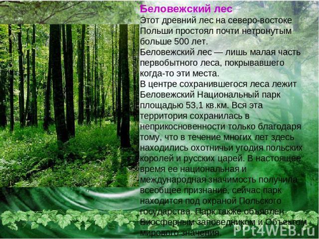 Беловежский лес Этот древний лес на северо-востоке Польши простоял почти нетронутым больше 500 лет. Беловежский лес — лишь малая часть первобытного леса, покрывавшего когда-то эти места. В центре сохранившегося леса лежит Беловежский Национальный па…