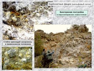 Карбонатные фации (шельфовый склон) Биогермная постройка в верхнепермских извест
