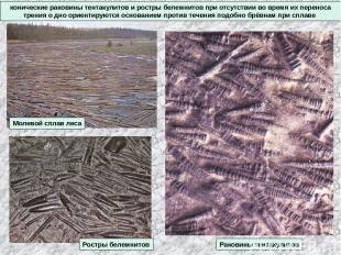 конические раковины тентакулитов и ростры белемнитов при отсутствии во время их