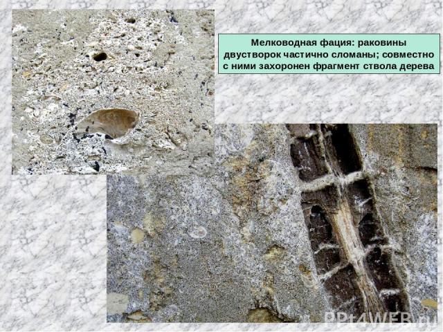 Мелководная фация: раковины двустворок частично сломаны; совместно с ними захоронен фрагмент ствола дерева
