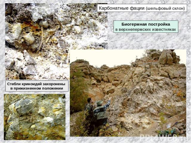 Карбонатные фации (шельфовый склон) Биогермная постройка в верхнепермских известняках Стебли криноидей захоронены в прижизненном положении