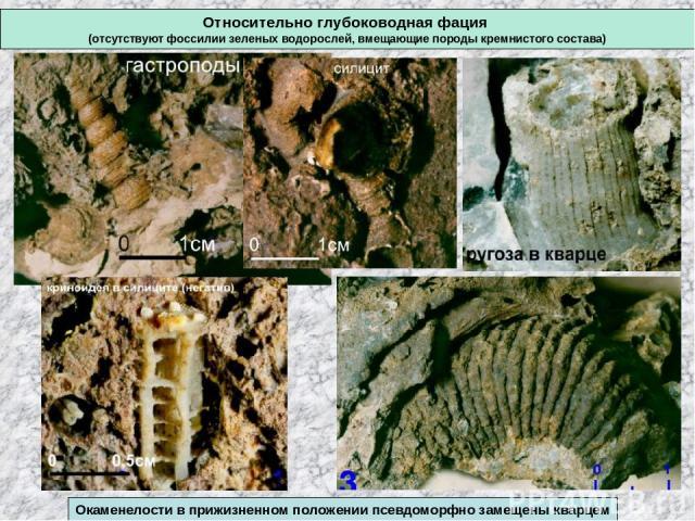 Относительно глубоководная фация (отсутствуют фоссилии зеленых водорослей, вмещающие породы кремнистого состава) Окаменелости в прижизненном положении псевдоморфно замещены кварцем