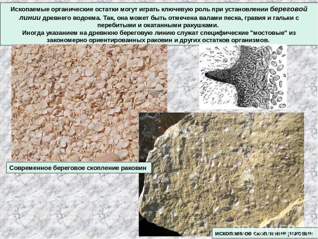 Ископаемые органические остатки могут играть ключевую роль при установлении береговой линии древнего водоема. Так, она может быть отмечена валами песка, гравия и гальки с перебитыми и окатанными ракушками. Иногда указанием на древнюю береговую линию…