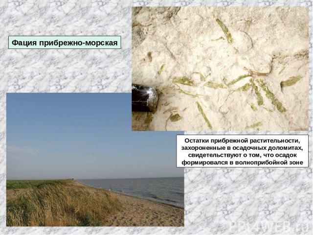 Фация прибрежно-морская Остатки прибрежной растительности, захороненные в осадочных доломитах, свидетельствуют о том, что осадок формировался в волноприбойной зоне