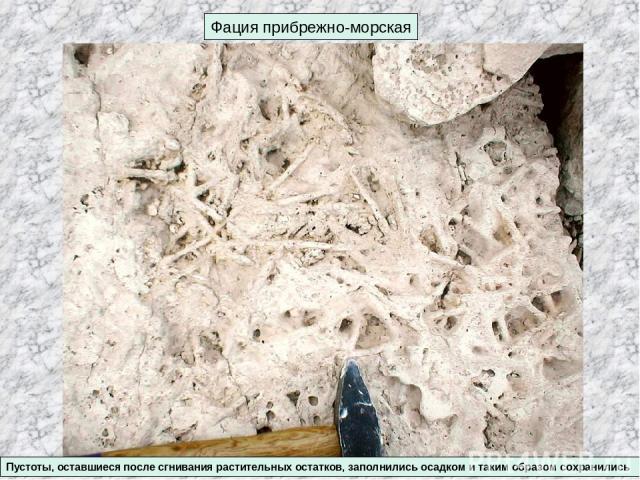 Фация прибрежно-морская Пустоты, оставшиеся после сгнивания растительных остатков, заполнились осадком и таким образом сохранились