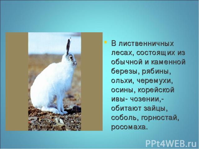 В лиственничных лесах, состоящих из обычной и каменной березы, рябины, ольхи, черемухи, осины, корейской ивы- чозении,- обитают зайцы, соболь, горностай, росомаха.