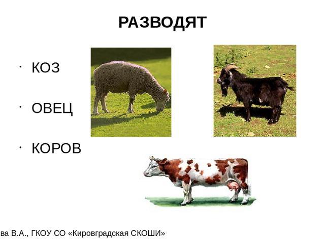 РАЗВОДЯТ КОЗ ОВЕЦ КОРОВ Карамова В.А., ГКОУ СО «Кировградская СКОШИ»