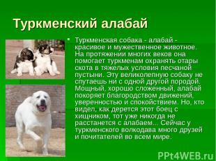 Туркменский алабай Туркменская собака - алабай - красивое и мужественное животно