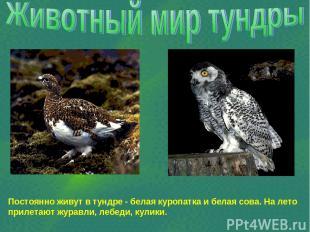 Постоянно живут в тундре - белая куропатка и белая сова. На лето прилетают журав