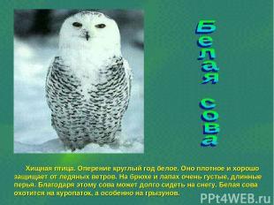 Хищная птица. Оперение круглый год белое. Оно плотное и хорошо защищает от ледян